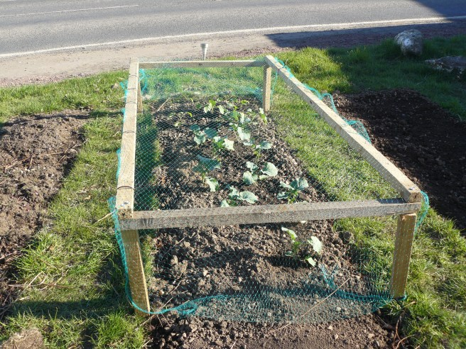 Brassicas under pigeon net