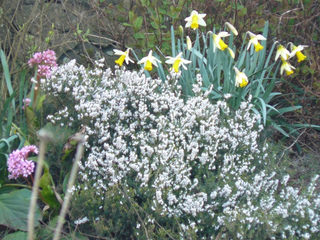 Lucky white heather and daffodils