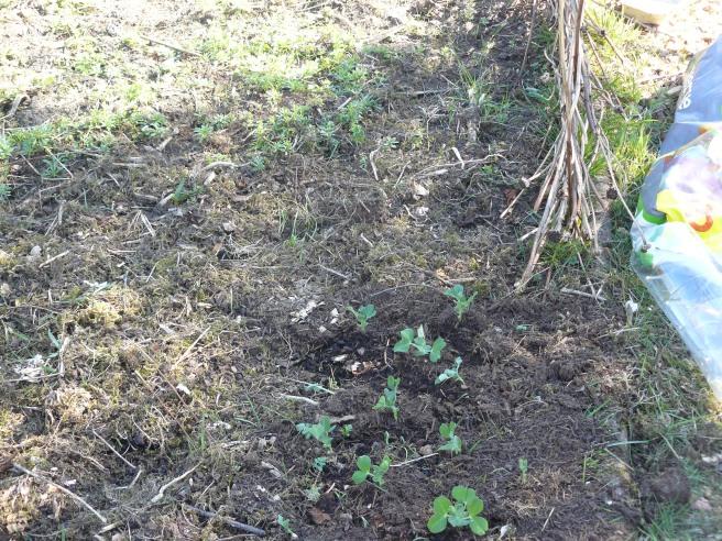 Peas in forest garden