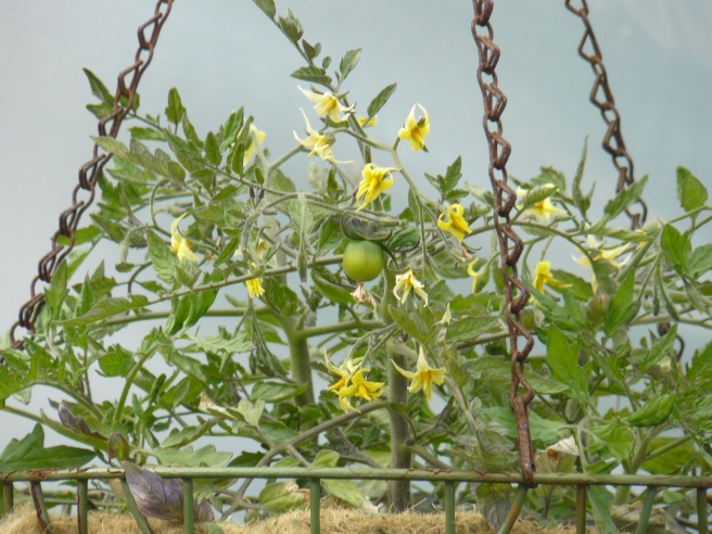 First tomato in the polytunnel - a Tumbling Tom.