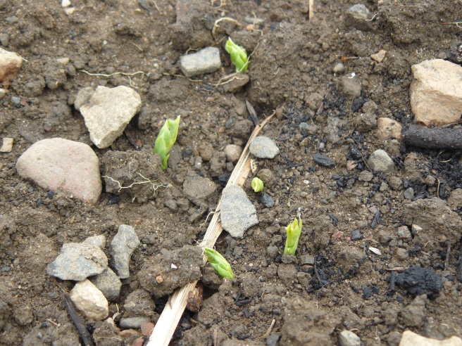 Peas popping through