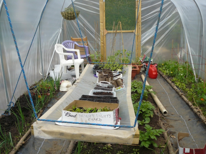 The polytunnel is beginning to fill up nicely. Newly sown flowers and more kohlrabi have filled up the space on the hanging shelf.